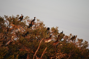 birds at bird island Jan 2011
