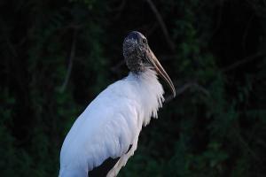 wood-stork-cyndi-lenz